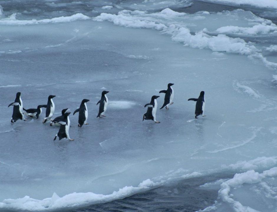 بطاريق أنتاركتيكا