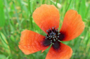 معلومات عن نبات الأرجمون وأنواعه المختلفة 3