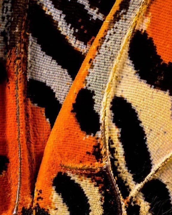 صور جناحات فراشات كما لم تراها من قبل باستخدام تقنية الماكرو 5