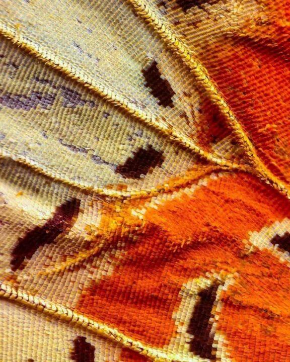 أجنحة الفراشات كما لم تراها من قبل باستخدام تقنية الماكرو 8
