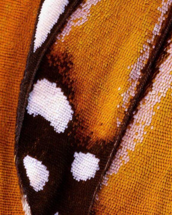صور جناحات فراشات كما لم تراها من قبل باستخدام تقنية الماكرو 9